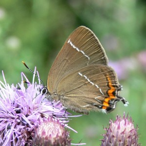 White-letter Hairstreak, Ox Close
