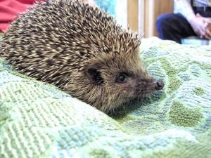 DSCN4944 Hedgehog talk_DxO