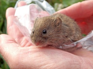 A Field Vole just before release