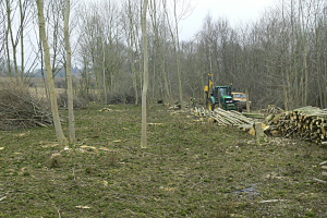 Part of the coppiced area in Ox Close with the posts for deer fencing being knocked into the ground
