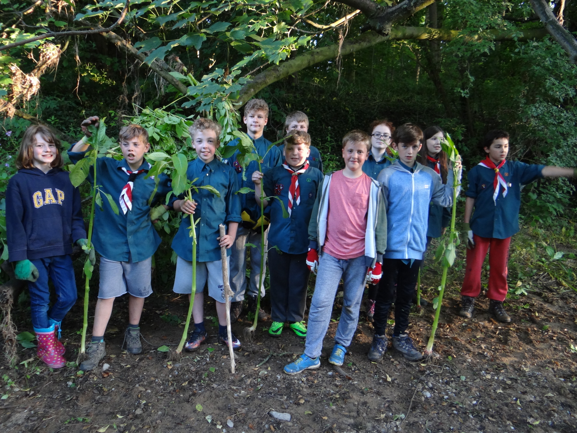 The Scouts had an evening pulling Balsam in Ox Close Wood