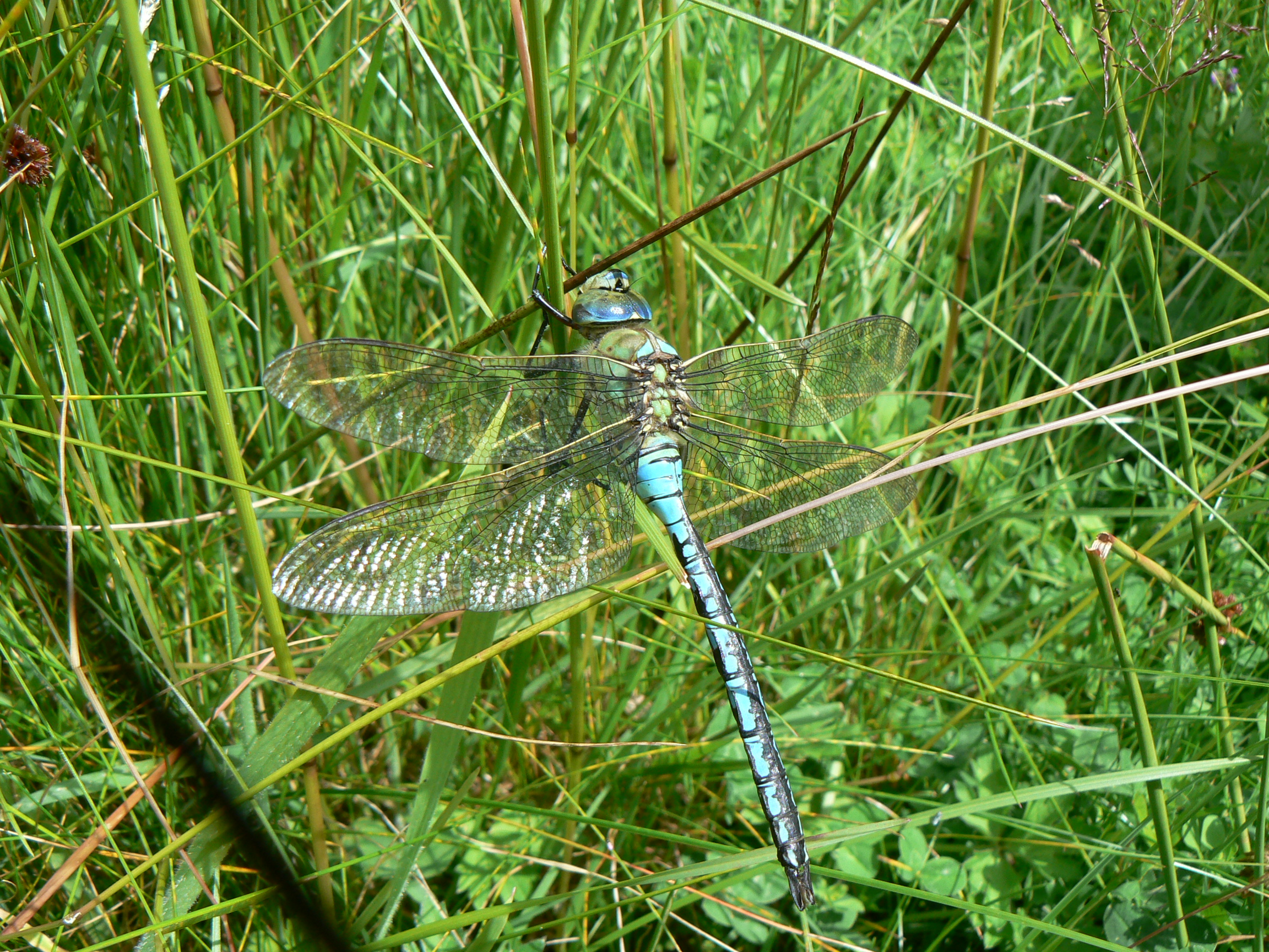 Another of the day's sidelines was this magnificent Emporer Dragonfly