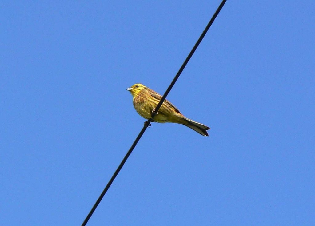 Yellow Hammer along Moor Lane, photographed by Howard.